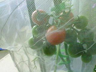 トマトが赤くなってきた
